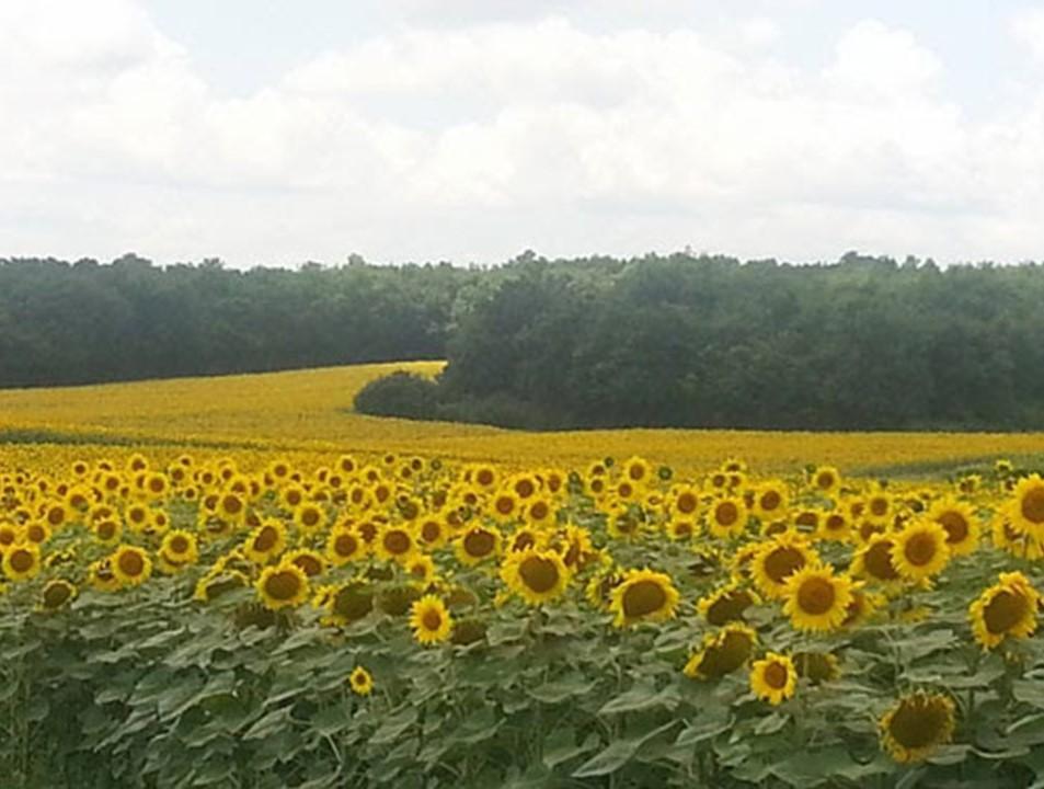 Field of sunflowers at Sol Henge Retreat
