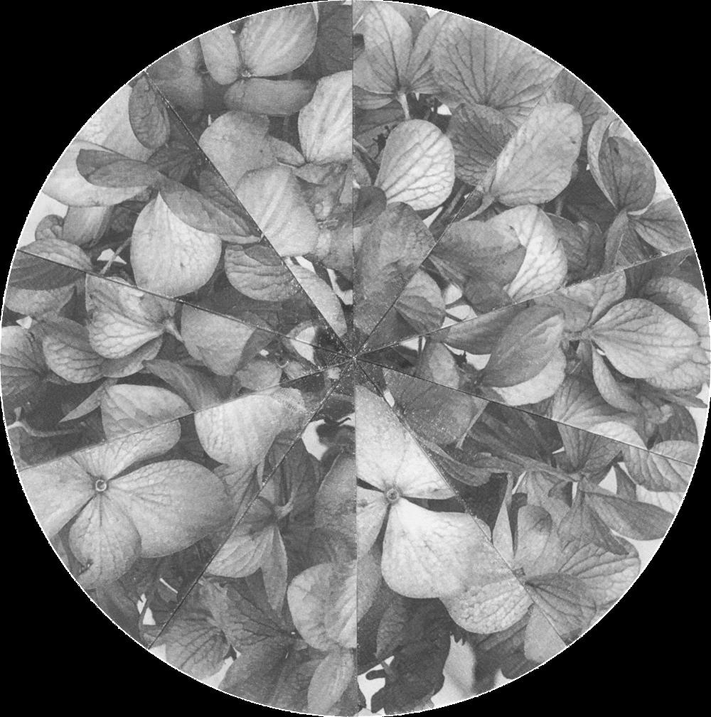 HydrangeaFractions_Crop&Trim.png