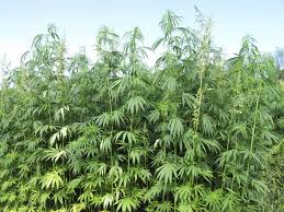 Industrial Hemp 2.jpg