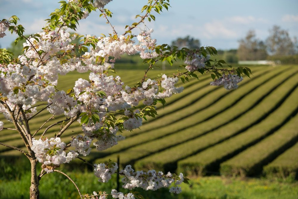 ZEALONG TEA ESTATE - Gordonton