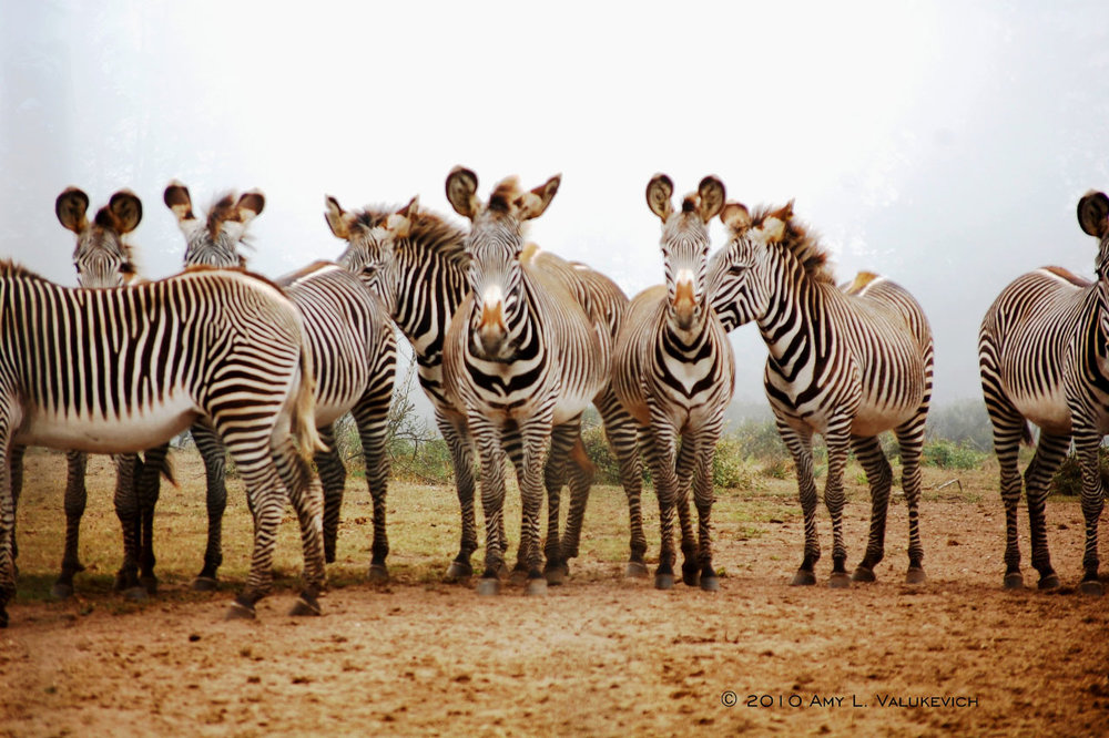 A herd of Grevy's Zebra