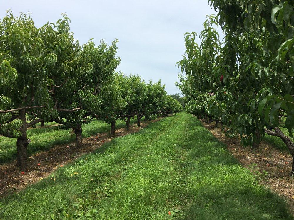 Nectarine Orchard in Massachusetts