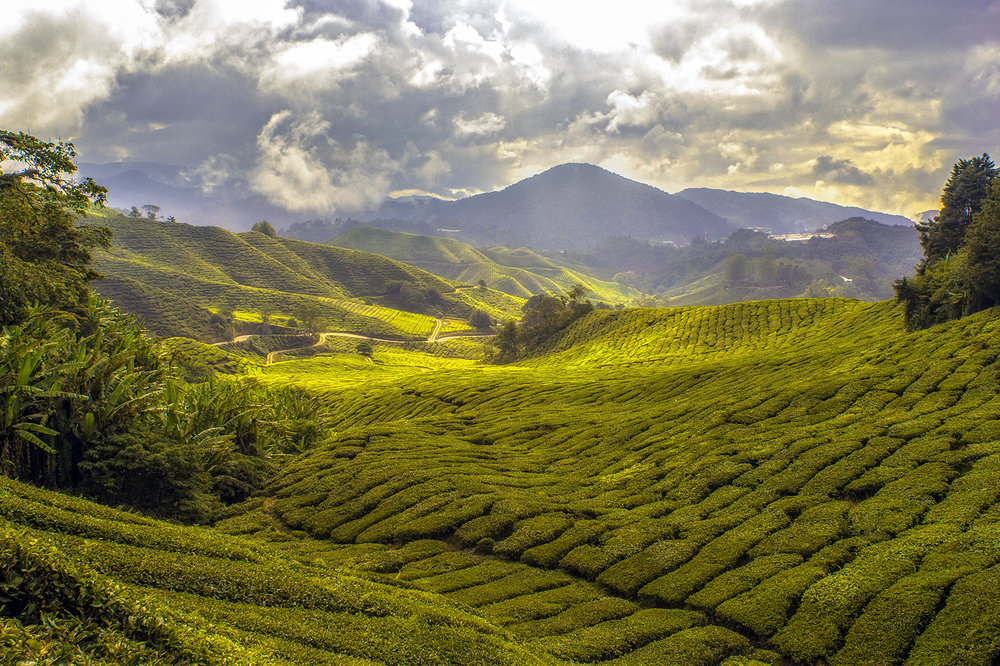 green tea fields tonicka 60cm.jpg