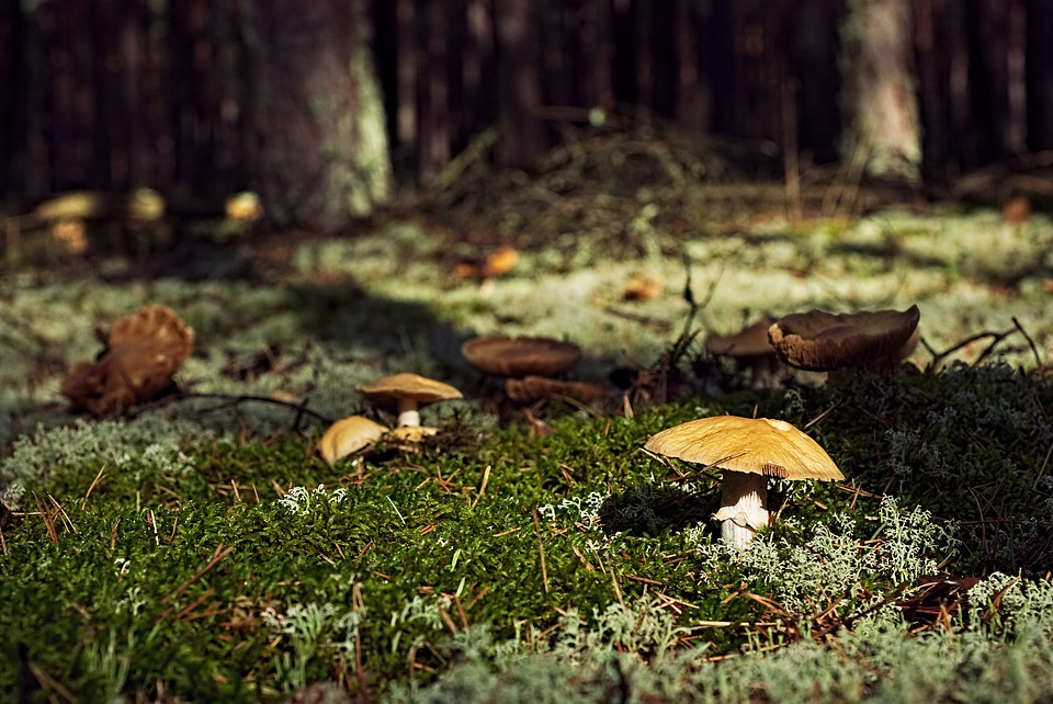 mushrooms-2370401_960_720.jpg