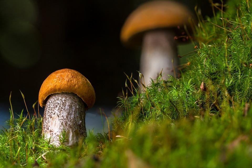 birch-mushroom-2638692_960_720.jpg