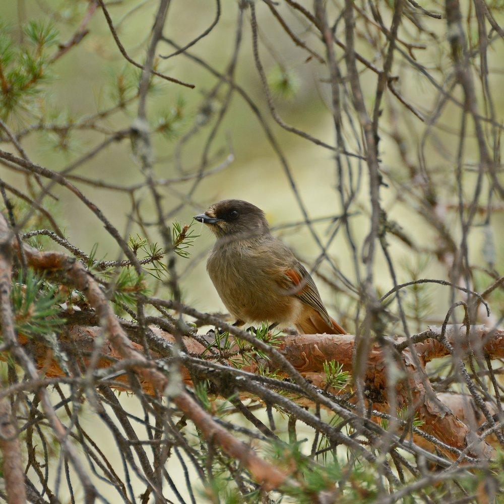 Mindfulness fågelsång