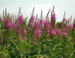 Willow Herb or Rosebay Willow Herb - Willow Herb or Rosebay Willow Herb.