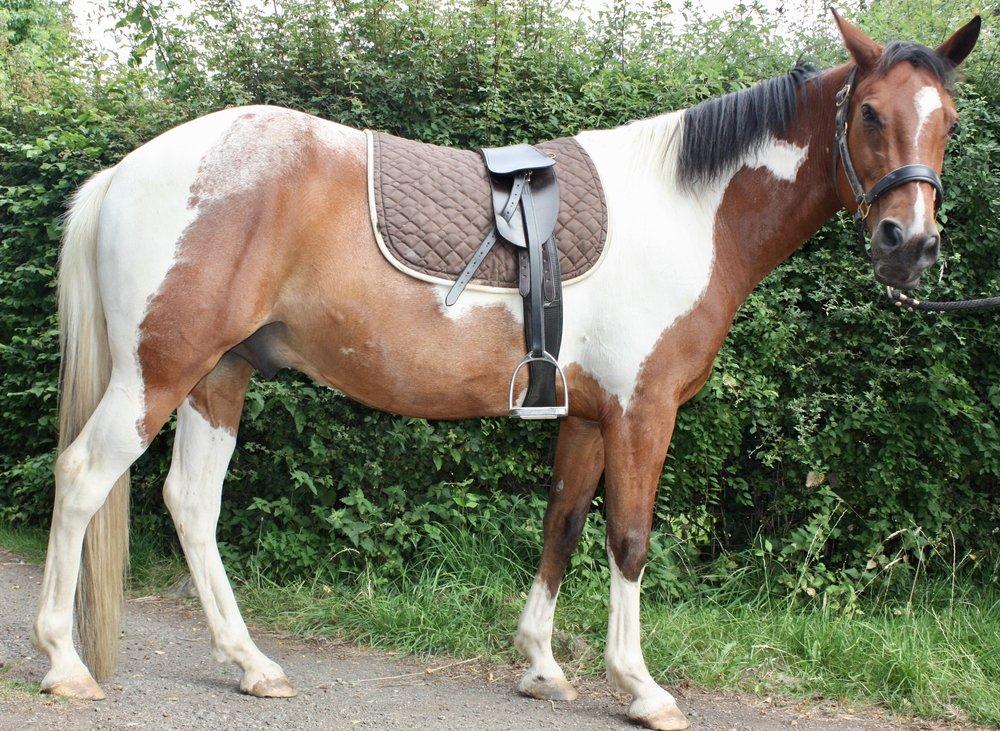 Chiron Horse showing off his Havanna Brown Saddle with short straps