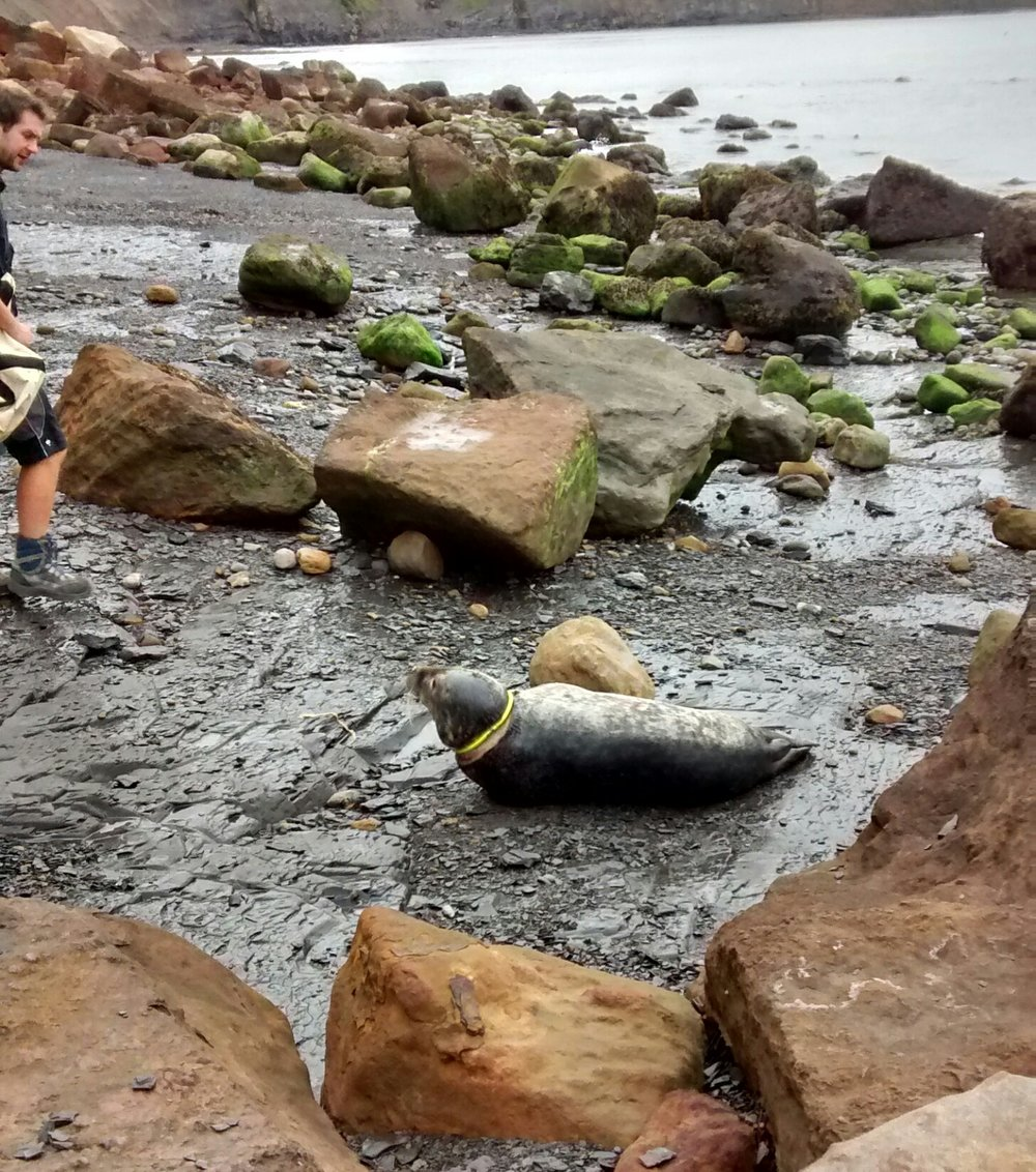 The toy had wounded the seal pup and caused an infection. Photo: RSPCA