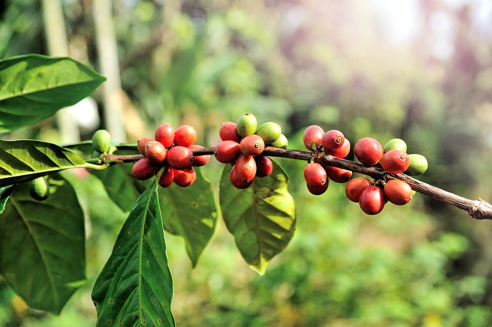 Organic coffee cherries ripe for the picking! Coffee dreams in the tropics deep in Mexico.