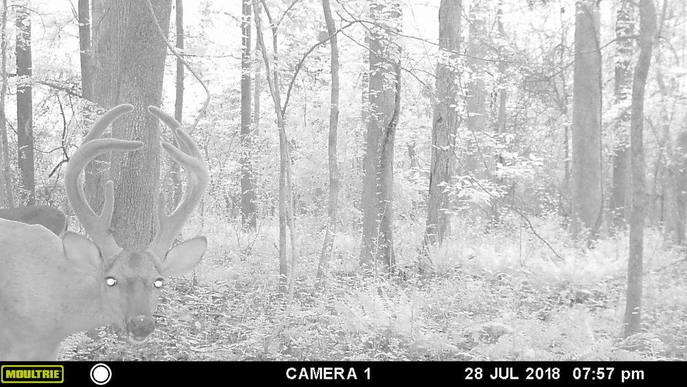 deer pic 1 - Copy.JPG