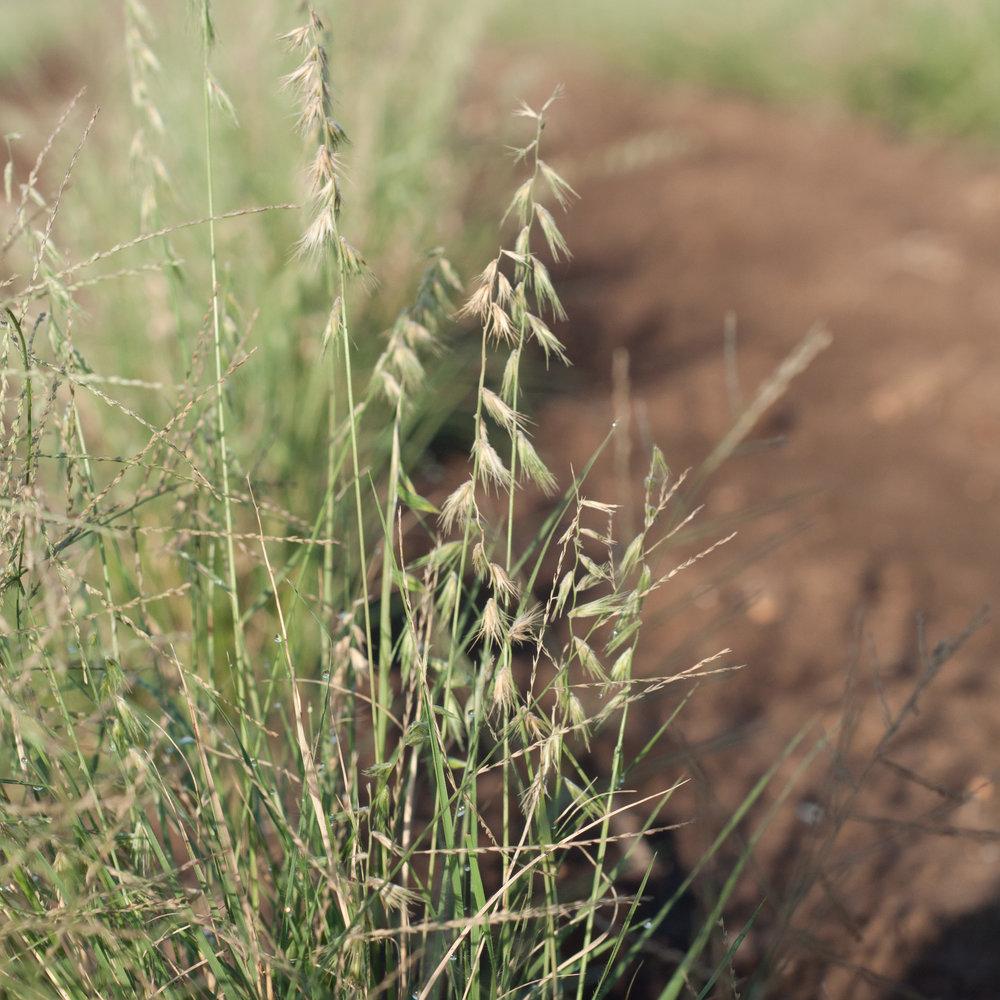 Atascosa Texas Grama,ts-21.jpg