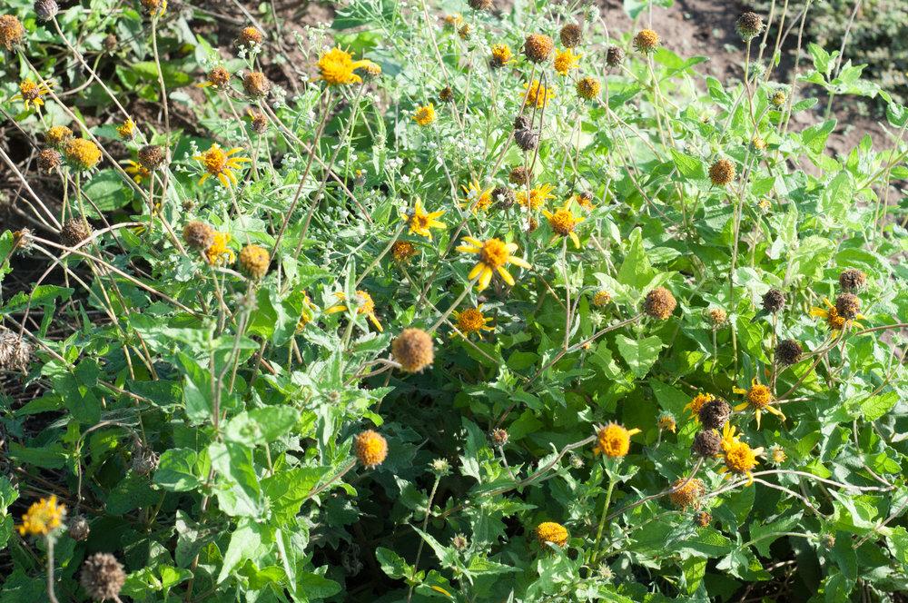 Awnless sunflower bush,ts-18.jpg