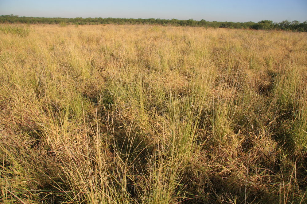 Catarina Bristlegrass reseeded Lower Rio Grande Valley.JPG