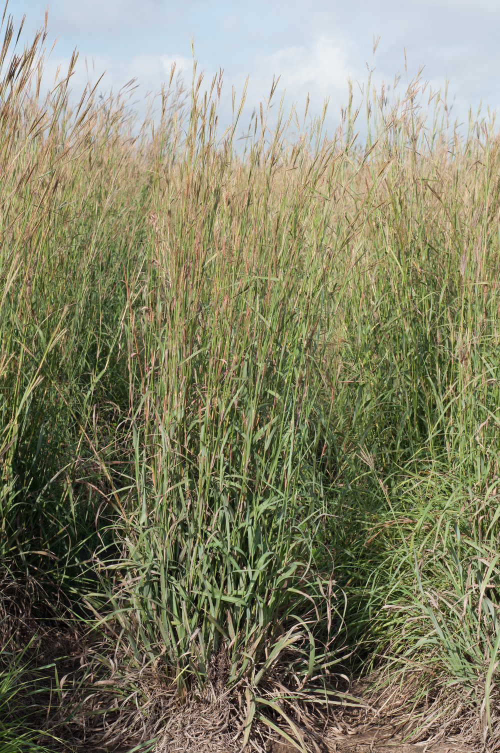 Kennedy Big Bluestem