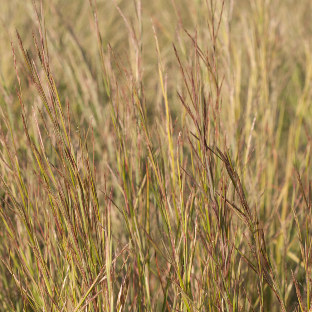 Little Bluestem,ts-18.jpg