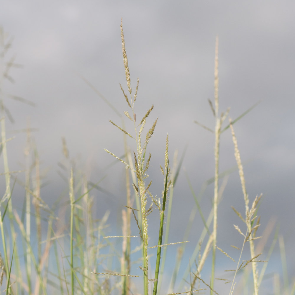 Nueces Sand Dropseed,ts-21.jpg