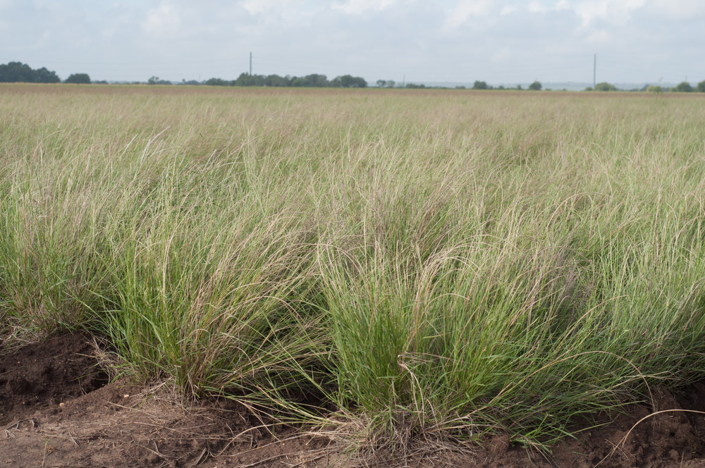 Nueces Sand Dropseed