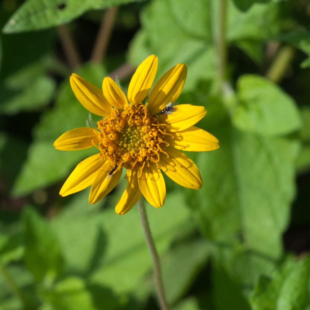 Awnless sunflower bush,ts.jpg