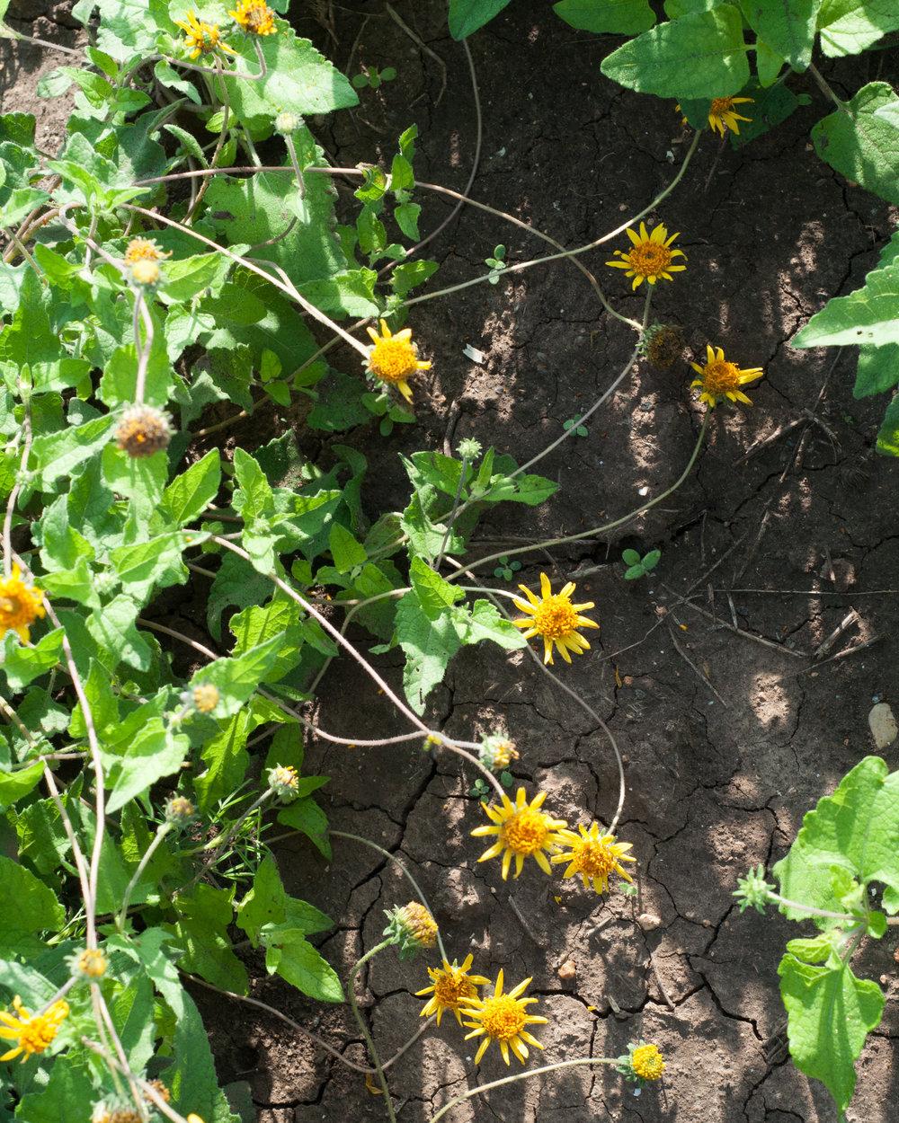 Plateau awnless bushsunflower
