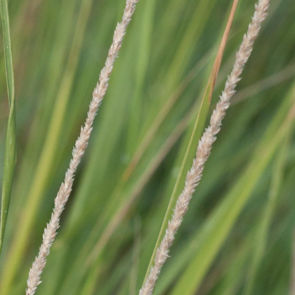 Ramadero Spikelovegrass,ts-27.jpg