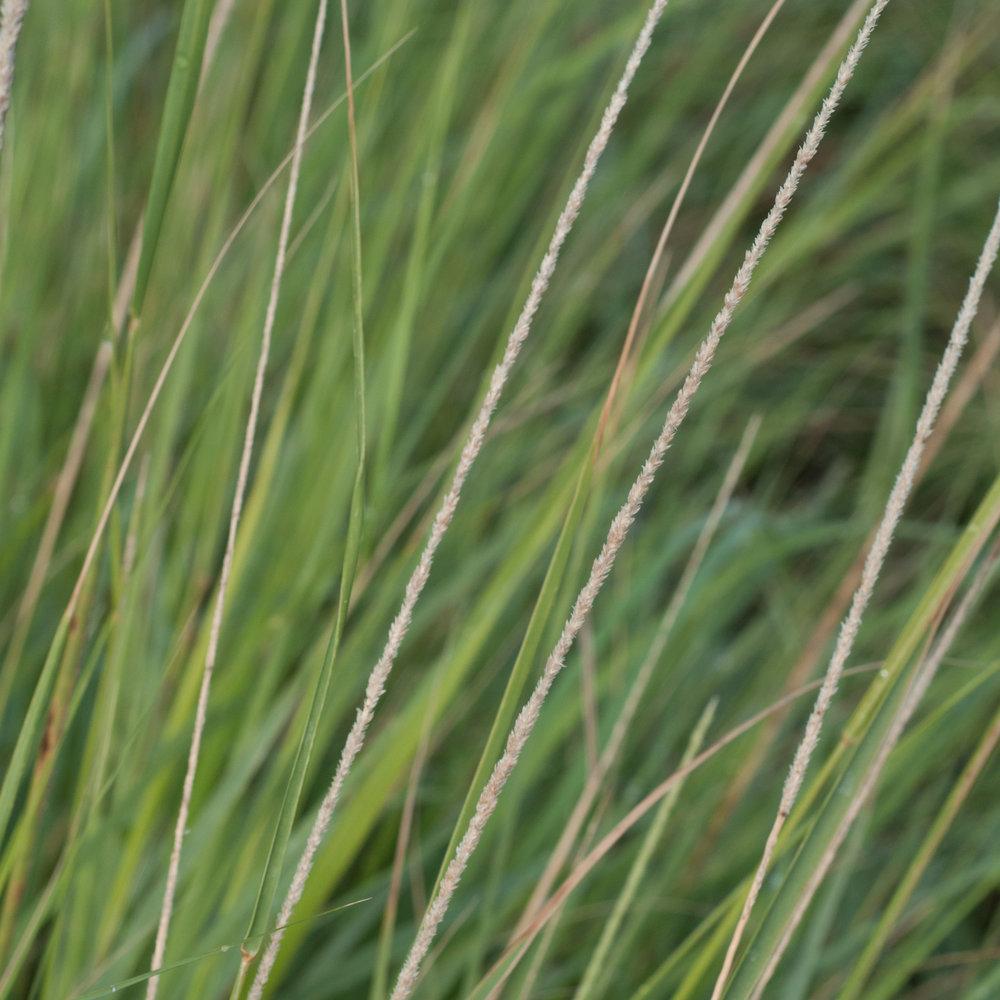 Ramadero Spikelovegrass,ts-30.jpg