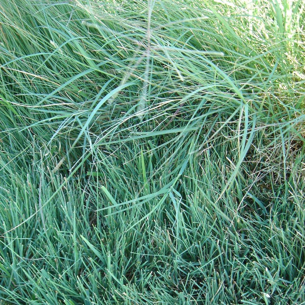 Texoka Buffalograss