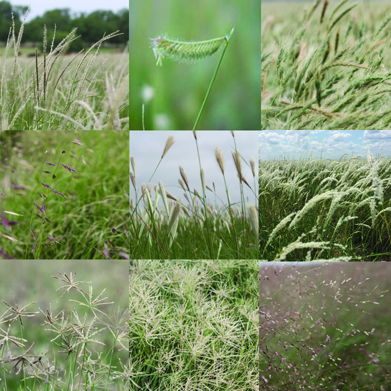 King's South Texas Native Grass Mix