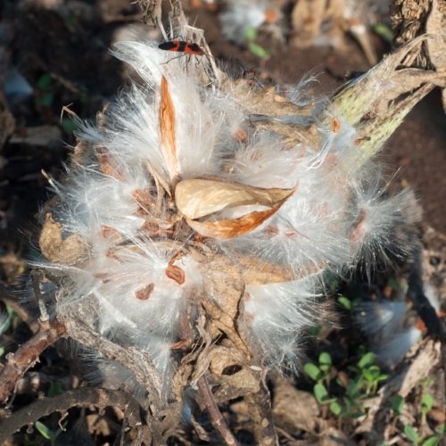 Milkweed,ts-34.jpg