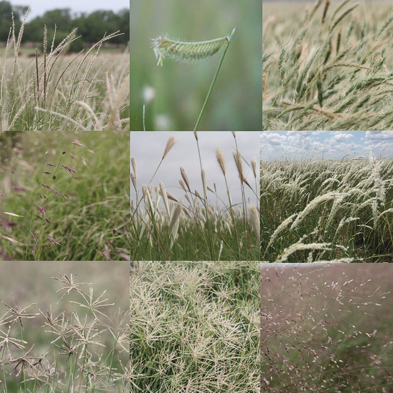 South Texas Native grass mix