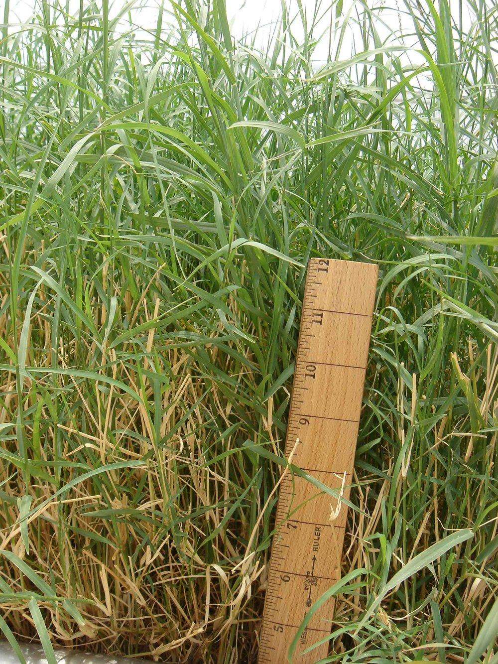 Nk37 Giant Bermuda Grass