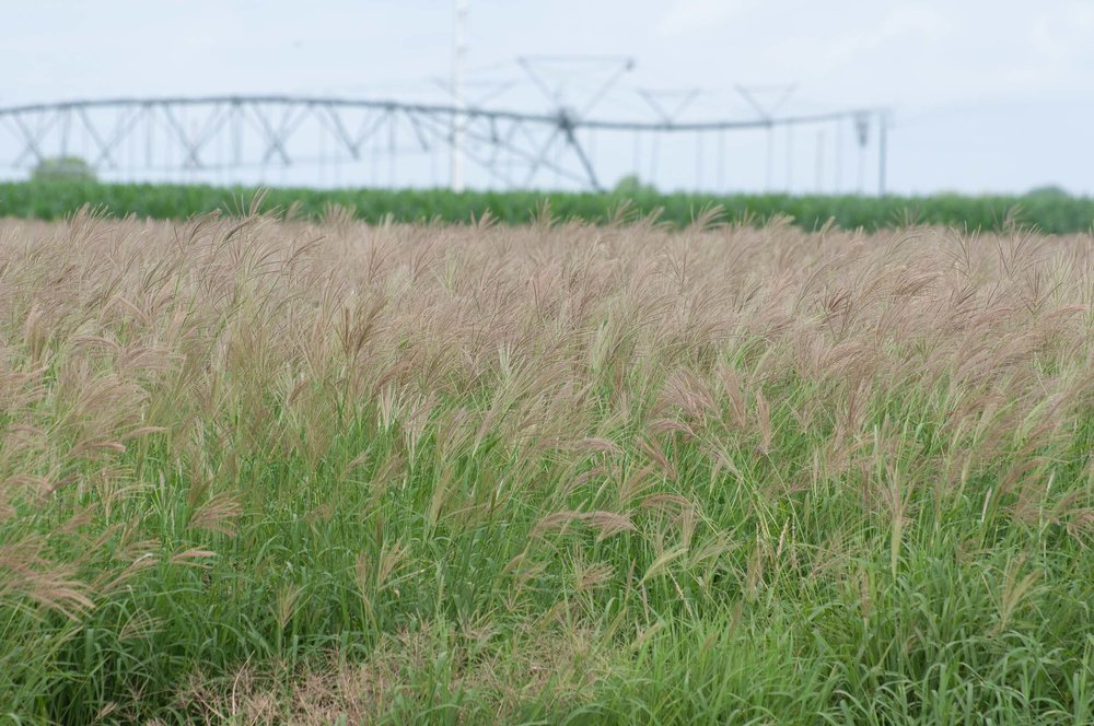 Hidalgo False Rhodesgrass