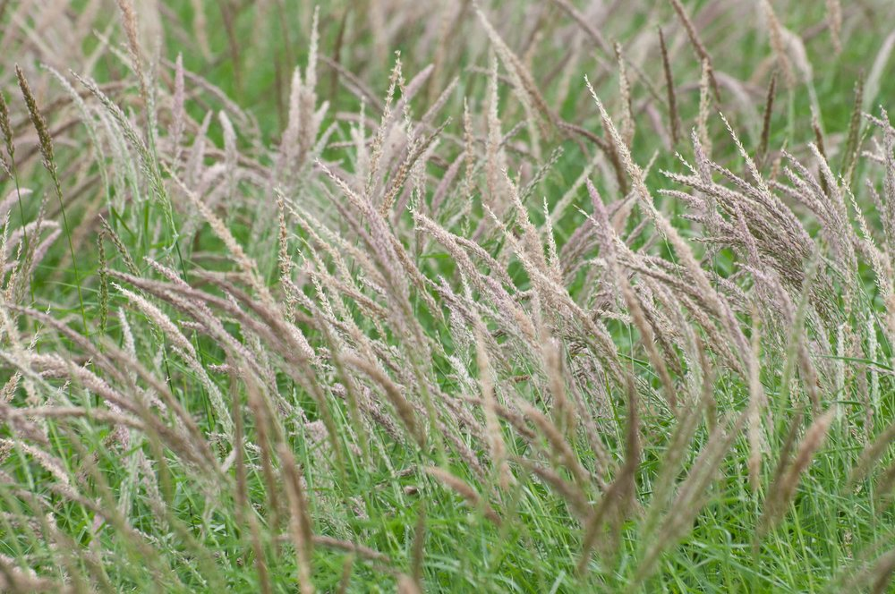 Maverick Pink Pappusgrass