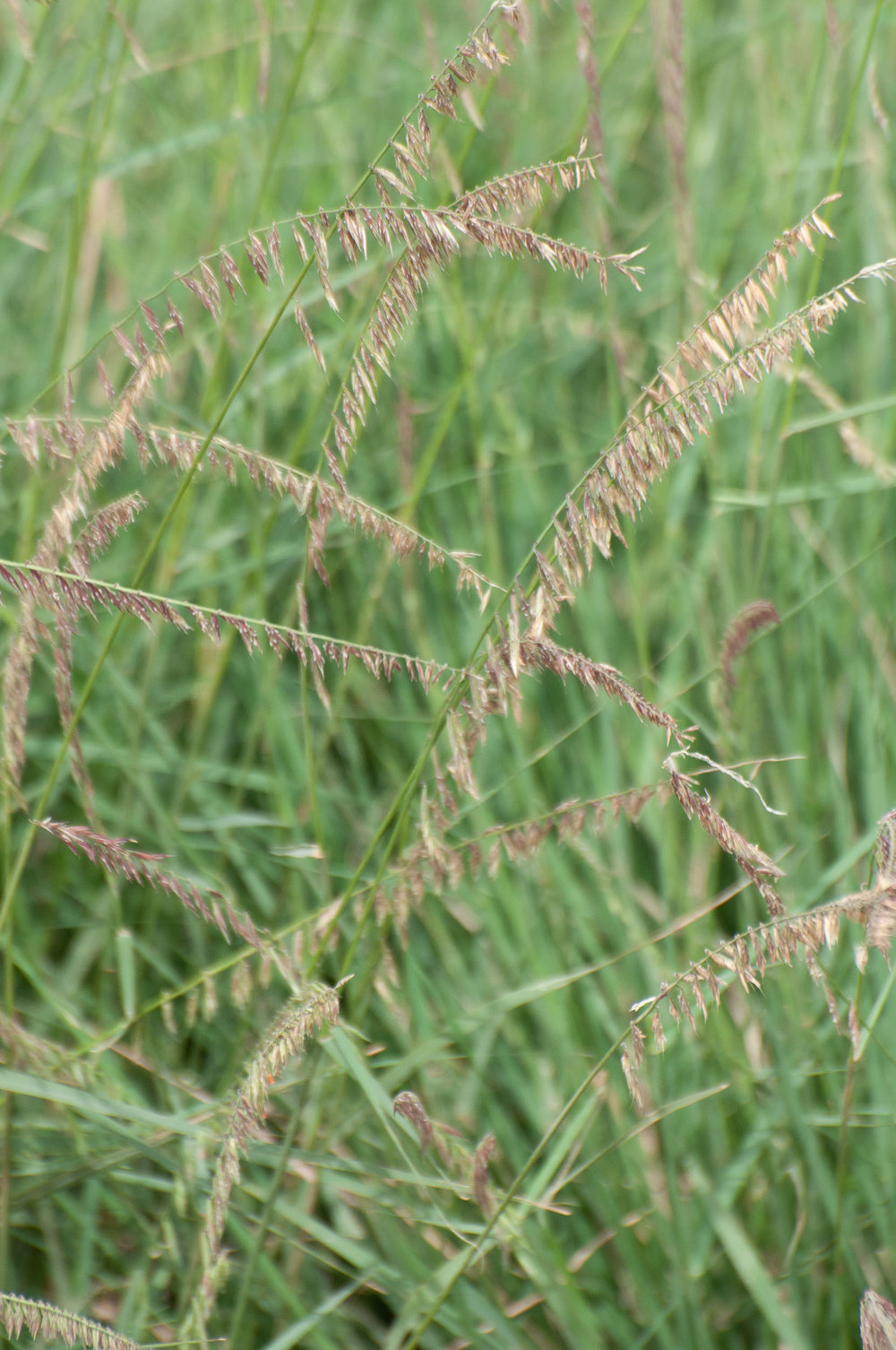 South Texas Sideoats