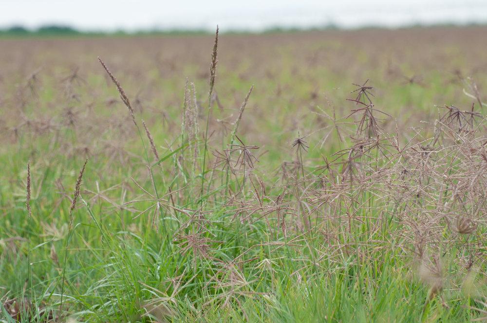 Pink Pappusgrass and Hooded Windmillgrass