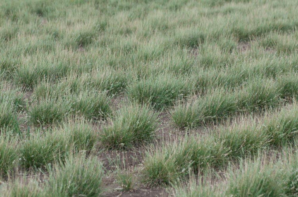 Field of Texas Grama