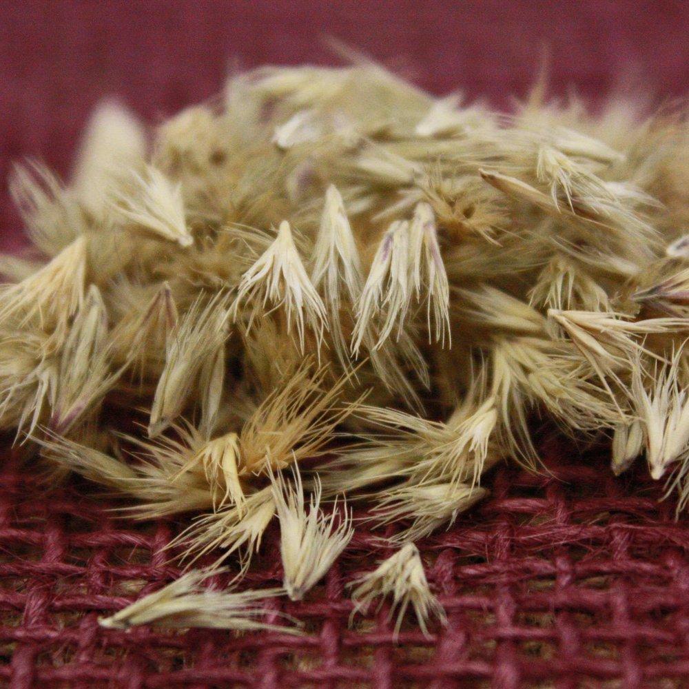 Atascosa Texas Grama seeds