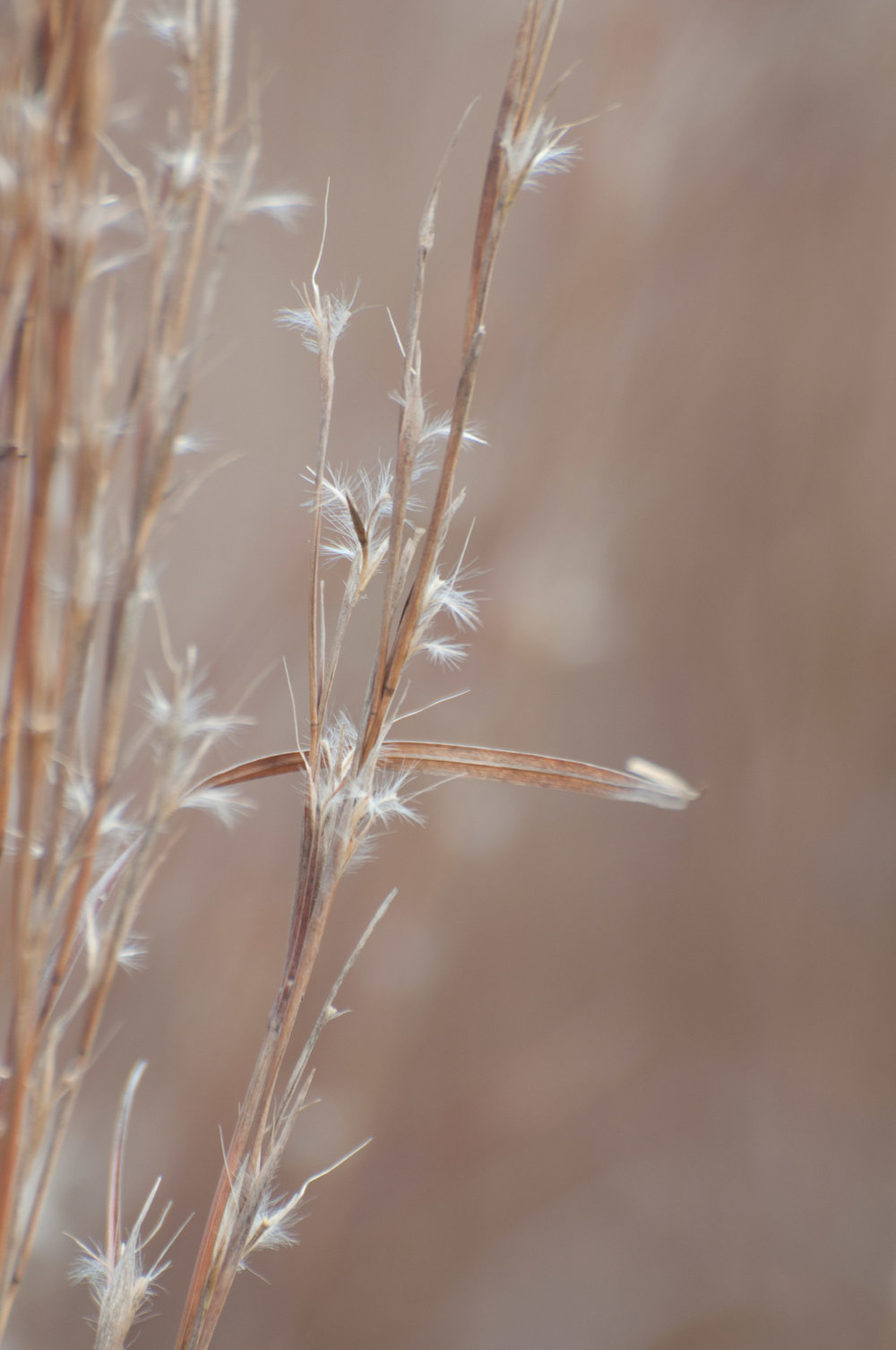 Carrizo Little Bluestem