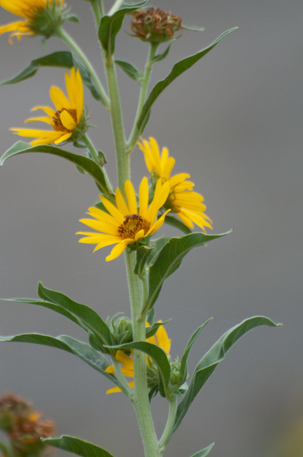 Aztec Maximillian Sunflower