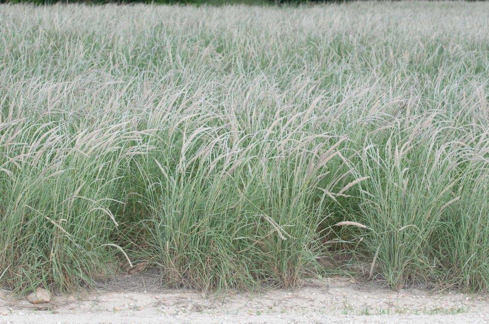 Webb Whiplash Pappusgrass