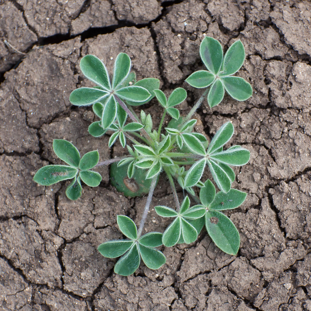 The rosette formation of the Bluebonnet. Although the plant is small above ground, it has an deep root system that will help it endure the winter.