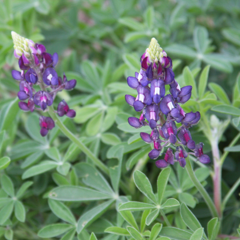 """Purple Heart"" Bluebonnets"
