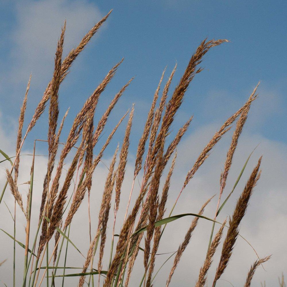 Wilson Indian Grass