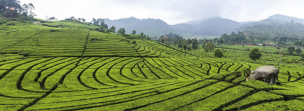 Tea_plantation_in_Ciwidey,_Bandung_2014-08-21.jpg