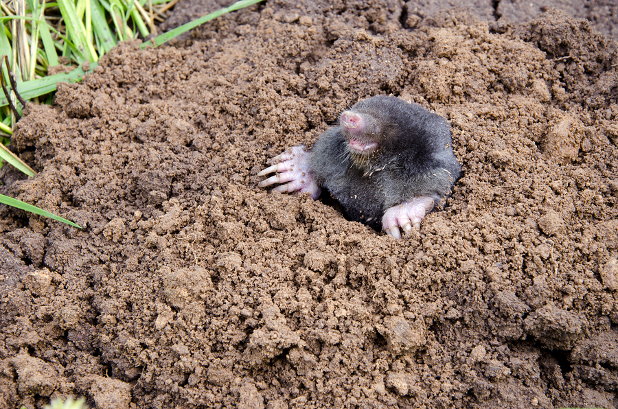 bigstock-Mole-Head--22053104.jpg