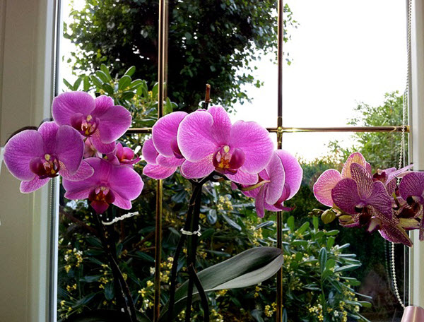 orchids at home.jpg