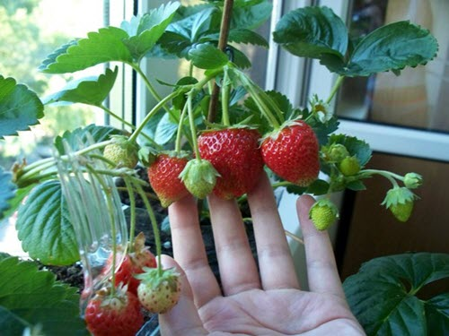 Strawberries growing in windowsill. Photo Credit: Julia66 of Gardeners World