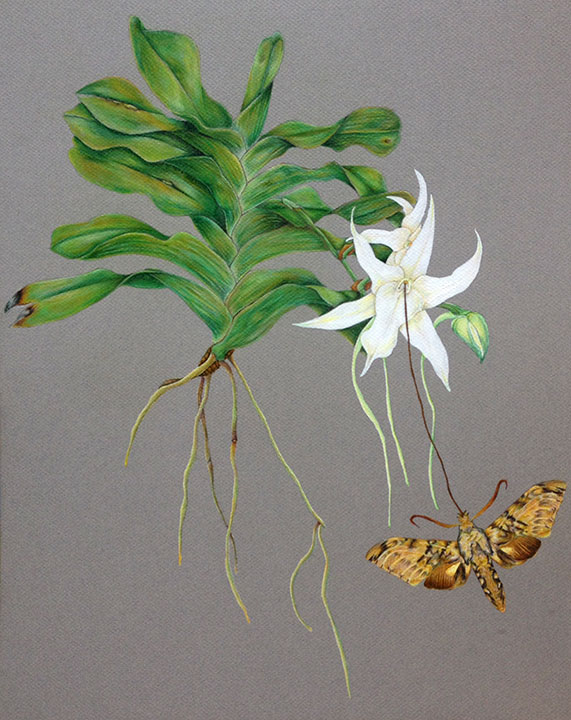 The  Angraecum sesquipedale's  nectar is at the very end of this long tail. Charles Darwin theorized that there must exist a pollinator possessing a proboscis as long as the plant's tail. The mystery pollinator turned out to be the  Xanthopan moth.