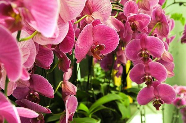 phaleonopsis.jpg