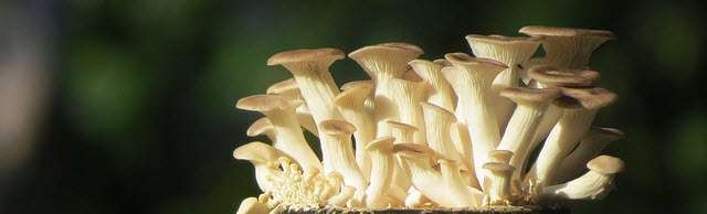 grow oyster mushrooms.jpg